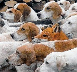 fox_among_dogs